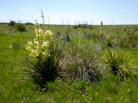 Yucca in the field on the way back to the gallery